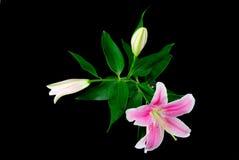 Lilie stockbild