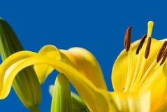 Lilie stockfoto