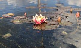 Lilie auf dem See Stockbild