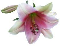Lilie auf einem weißen Hintergrund Stockfotos