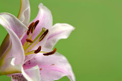 Lilie auf Grün Lizenzfreie Stockbilder