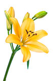 Lilie auf Weiß Lizenzfreies Stockfoto