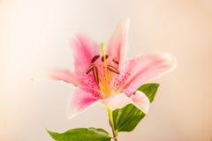 Lilie blüht Weinlesefotoweinlese lizenzfreie stockfotografie