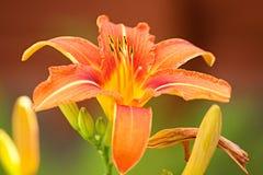 Lilie blommor Arkivfoton