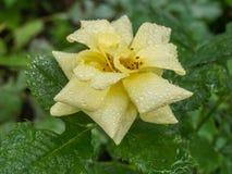 Lilie, Blumenweiß Stockbild