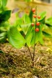 Lilie der Früchte des Tales Lizenzfreie Stockfotografie