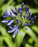 Lilie der Nil-Blume. Lizenzfreie Stockfotografie