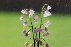 Lilie der Talblumen Stockfoto