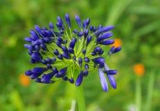 Lilie der violett-blauen Blume Nils Lizenzfreie Stockfotos