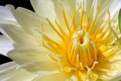Lilie des gelben Wassers getrennt auf Schwarzem stockbild