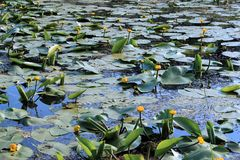 Lilie des gelben Wassers Lizenzfreie Stockfotografie