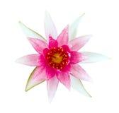Lilie des rosafarbenen und weißen Wassers Lizenzfreie Stockbilder