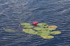 Lilie des roten Wassers Stockbilder