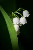 Lilie des Tales stockbild