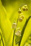 Lilie des Tales Stockbilder