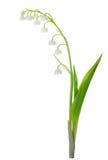 Lilie des Tales getrennt auf Weiß lizenzfreie stockfotografie