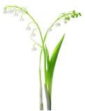 Lilie des Tales getrennt auf Weiß Lizenzfreie Stockfotos