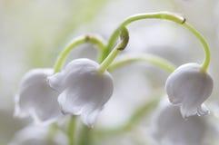 Lilie des Tales, Makroschuß Lizenzfreies Stockbild