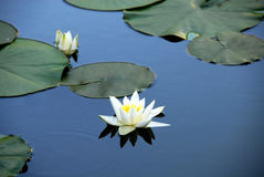 Lilie des weißen Wassers Lizenzfreie Stockbilder