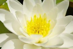 Lilie des weißen Wassers stockfotografie