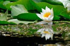 Lilie des weißen Wassers Stockbild