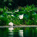 Lilie des weißen Wassers Lizenzfreies Stockfoto