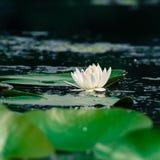 Lilie des weißen Wassers Lizenzfreie Stockfotografie