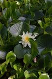 Lilie des weißen Wassers Lizenzfreies Stockbild