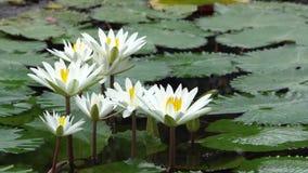 Lilie des weißen Wassers stock video footage