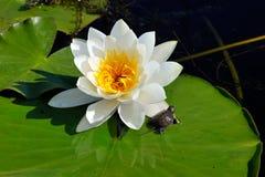 Lilie des weißen Wassers auf dem See (Nymphaea alba) stockfoto