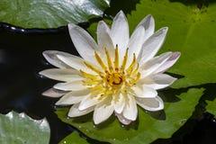 Lilie des weißen Wassers auf dem See Nymphaea alba Lizenzfreie Stockfotografie