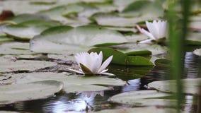 Lilie des weißen Wassers in einem Teich Nymphaea alba Schöne Wildwasserlilie und tropische Klimata Wasser Lily Background stock video footage