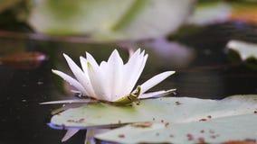 Lilie des weißen Wassers in einem Teich Nymphaea alba Schöne Wildwasserlilie und tropische Klimata Wasser Lily Background stock footage