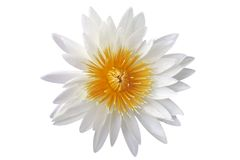 Lilie des weißen Wassers getrennt Stockbilder