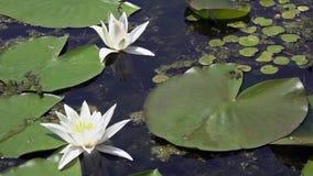 Lilie des weißen Wassers Schöne Wildwasserlilie und tropische Klimata Goldene Kräuselungen im Wasser stock video footage
