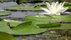 Lilie des weißen Wassers Schöne Wildwasserlilie und tropische Klimata Goldene Kräuselungen im Wasser stock footage