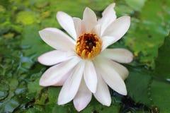 Lilie des weißen Wassers Stockbilder