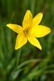 Lilie des wilden Gelbs Lizenzfreies Stockfoto