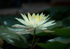 Lilie in einem Teich Lizenzfreie Stockfotografie