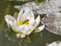 Lilie in einem Teich und eine Fliege Stockbild
