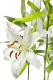 Lilie getrenntes Weiß Lizenzfreie Stockbilder