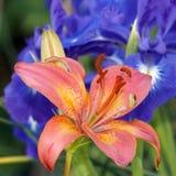 Lilie im Garten Lizenzfreie Stockbilder
