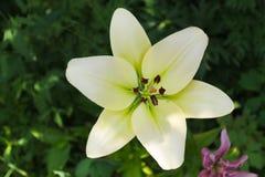 Lilie im Garten stockbild