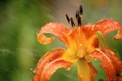 Lilie im Regen Stockbild
