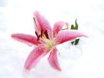 Lilie im Schnee Stockfotos