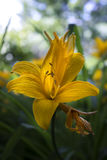 Lilie jaune Photos stock