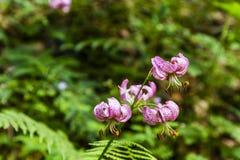 Lilie - Lilium martagon (martagon Lilie, Kappenlilie des Türken) stockbild
