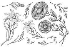 Lilie mit Blättern und den Knospen, medizinische Kamille des Krauts Heiratende botanische Blumen im Garten oder in der Frühlingsa Stockbild
