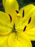 Lilie mit den Staubgefässen voll vom Blütenstaub Stockfoto
