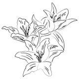 Lilie mit Knospenentwurfs-Skizzenvektor Stockfotografie